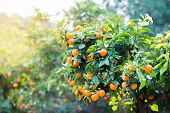 Mandarin tree with ripe fruits. Mandarin orange tree. Tangerine. Branch with fresh ripe tangerines a poster
