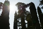 Cypress Tree With A Nice Sunflare Effect In Italy poster