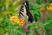 picture of lantana  - Tiger Swallowtail butterfly at garden filled with lantana flowers rural Georgia - JPG