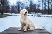 A Beautiful, Cute And Cuddly Golden Retriever Dog Sitting In A Pier In A Park. Cloudy Winter Day poster