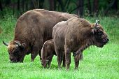 stock photo of aurochs  - family of european bisons on a meadow - JPG