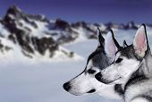 stock photo of sled-dog  - The reliable and loyal Siberian Husky sled and working dog - JPG