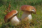 stock photo of smut  - Two small wild boletus mushroom in the moss - JPG