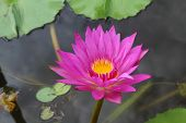 pic of corbel  - A lotus or water lily flower in asia - JPG