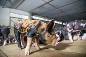 Berkshire Pig Or Kurobuta Pig -swine Farming Business. Pigfarmingis The Raising And Breeding Of D poster