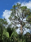 stock photo of saw-palmetto  - Sunlight on Slash Pines and Saw Palmetto Trees.