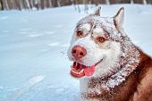 Merry Muzzle Dog In Snow. Funny Siberian Husky Dog With Stuck Out His Tongue Is Fun Playing In Winte poster