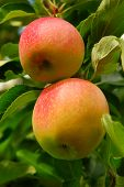 foto of apple tree  - Two ripe red apples on a apple tree branch in an orchard - JPG