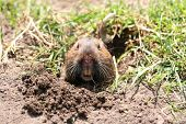 foto of gopher  - A gopher popping his head out in Golden Gate Park - JPG