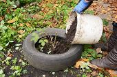 Winter Protection For Garden Roses Bush With Dirt, Peat And Old Car Tires. Gardener  Insulating Gard poster