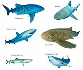 Collection shark species isolated. Whale Shark, Leopard, Bull, Caribbean and Whitetip Reef Sharks on poster