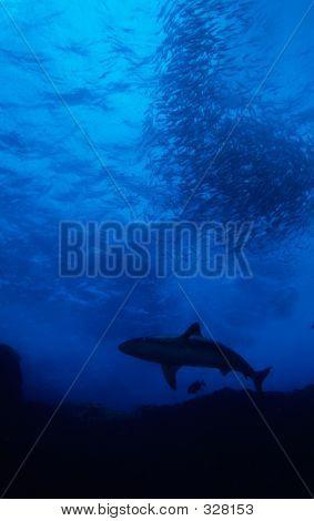 Shark With Bait Ball