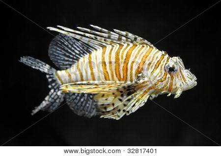 Lion fish on dark background