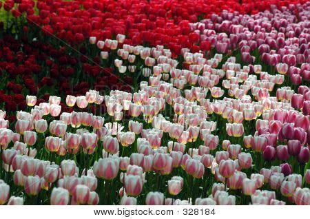 Luminated Tulips