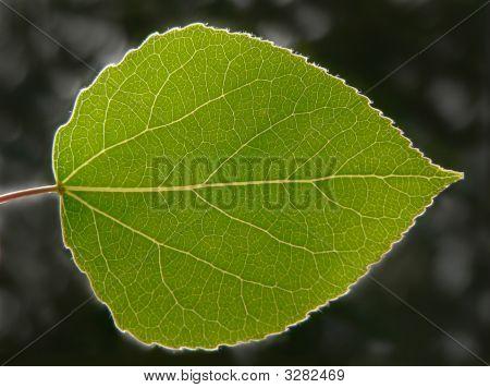 Transparent Aspen Leaf