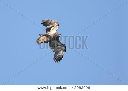 Young Bald Eagle (Haliaeetus Leucocephalus) In Flight