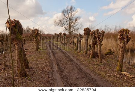 Pollarded Willows Along A Path