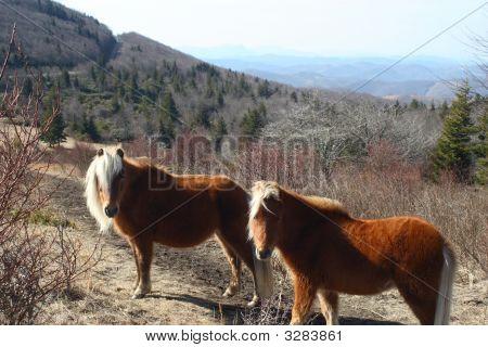 Wild Horses Of Mount Rogers