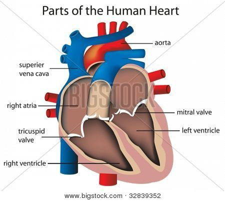 Illustration of parts of the heart