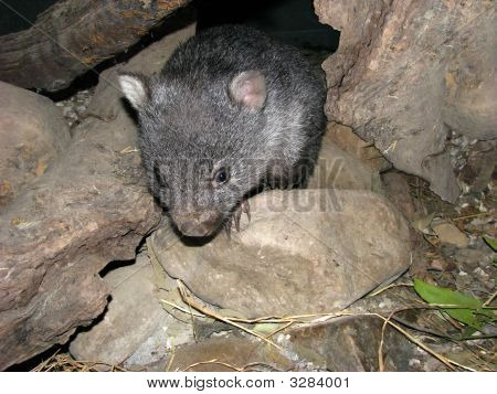 Young Wombat