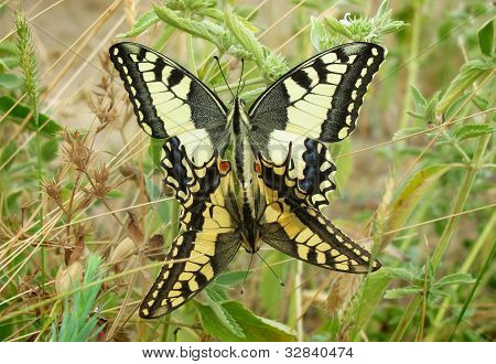 A Mating Pair Of Machaon Butterflyes