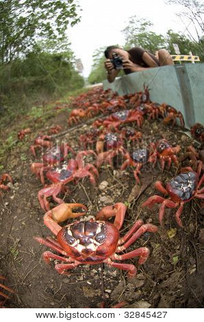 Girl Photographing Red Crabs over Barrier in Christmas Island