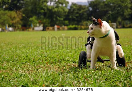 Cripple Cat In Wheelchair
