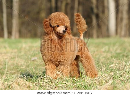 Toy Poodle Puppy Portrait (outdoor)