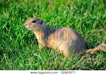 a curious and suspicious prairie dog