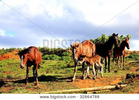 Wild horses at Easter Island, Chile