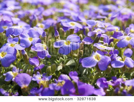 Spring Purple Flowers