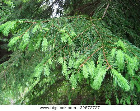 Fur Tree Branche