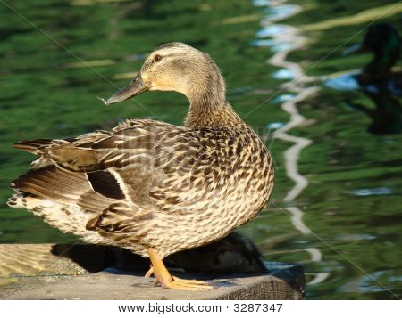 Duck Sunning At Pond