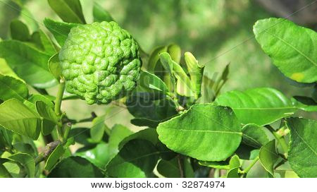 Single Kaffir Lime on Tree