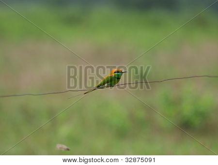Geen Bee-eater