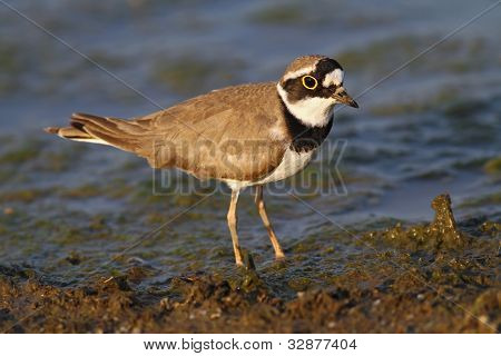 Little ring plover ( Charadrius dubius )