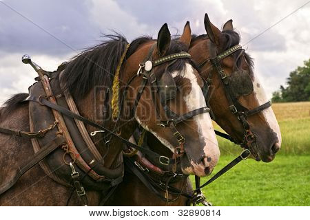Matching team of bay Clydesdales with white blazes, in harness, with horse collars and blinkers