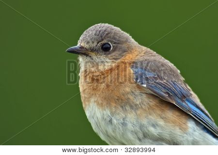 Female Eastern Bluebird Close-up