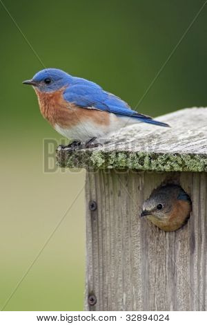 Two Bluebirds With House