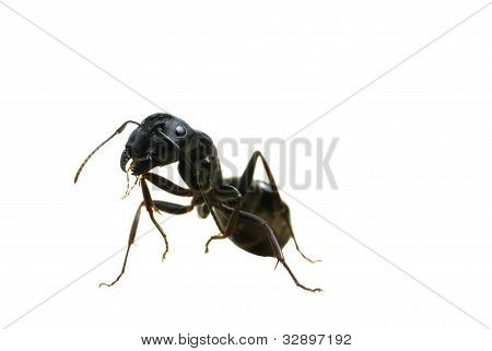 Carpenter Ant On Back Legs
