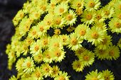 Many Little Yellow Chrysanthemums. Autumn Concept.for Design Postcards, Posters.many Little Flowers  poster
