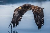 Adult White-tailed Eagle In Flight. Blue Sky Background. Scientific Name: Haliaeetus Albicilla, Also poster