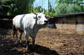 stock photo of feedlot  - white cow in a cowshed concept of captivity - JPG