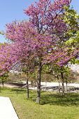 stock photo of judas tree  - Cercis siliquastrum commonly known as Judas Tree is a small deciduous tree from Southern Europe - JPG