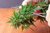 Processing Cannabis Buds To Make A Cure For Cancer,marijuana Natural Medicinal Plant To Enhance Enha poster