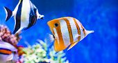 Red Sea Tropical Ornamental Fish, Colorful Angel Fish, Longnose Butterflyfish, Forceps Fish, Yellow  poster