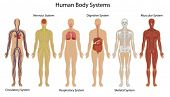 image of skeletal  - Illustration of the human body systems - JPG