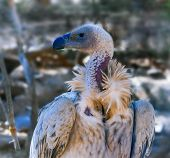 Portrait of an African  Cape vulture in Botswana also called Kolbe's vulture or Cape griffon poster