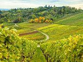 Autumn Countryside Vineyard Landscape Countryside. Vine Plants poster