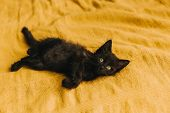 Black Fluffy Devil Kitten On A Yellow Background. Halloween, All Saints Night, Cute Pet. Copy Space. poster